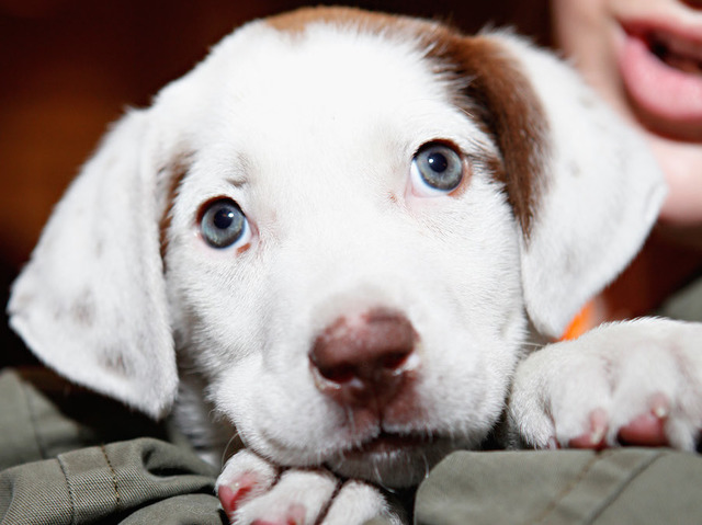 Pet store puppies linked to bacterial outbreak in 7 states: CDC