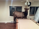Elk crashes in family's basement uninvited