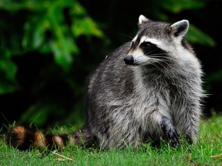 Raccoon tests positive for rabies in Wayne Co.
