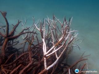 Global warming is killing corals near Australia