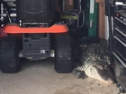 Houston man finds 300-pound gator in garage