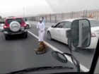 WATCH: Tiger escapes car, roams busy highway