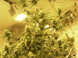 Synthetic opiates blamed for marijuana overdoses